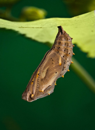 metamorphosis__painted_lady_chrysalis__by_sarahorsomeone-d562285[1]