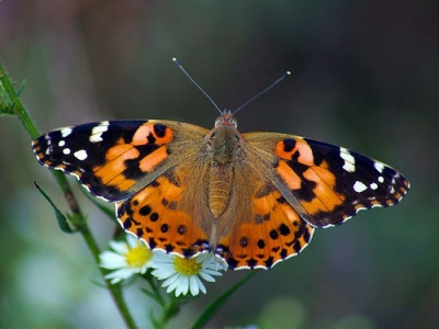 painted-lady-butterfly[1]